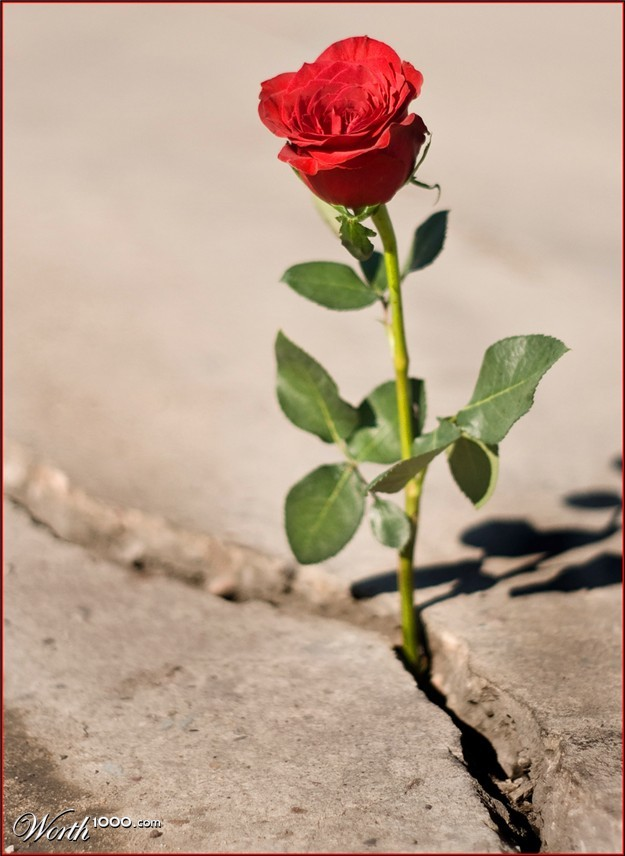 Image result for roses growing out of concrete
