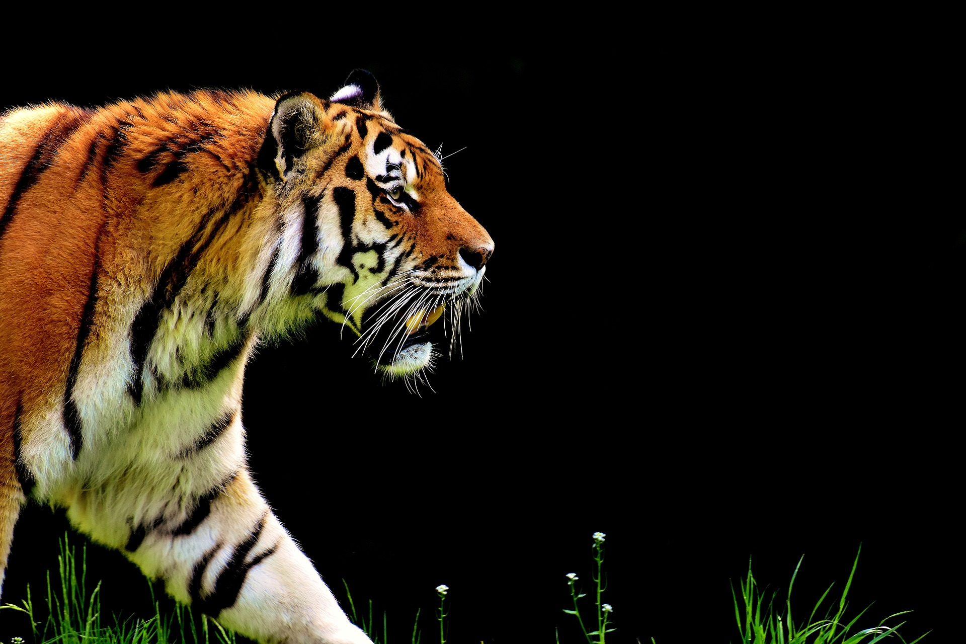 The Tiger King Class 12 CBSE Question and Answer - Beaming Notes